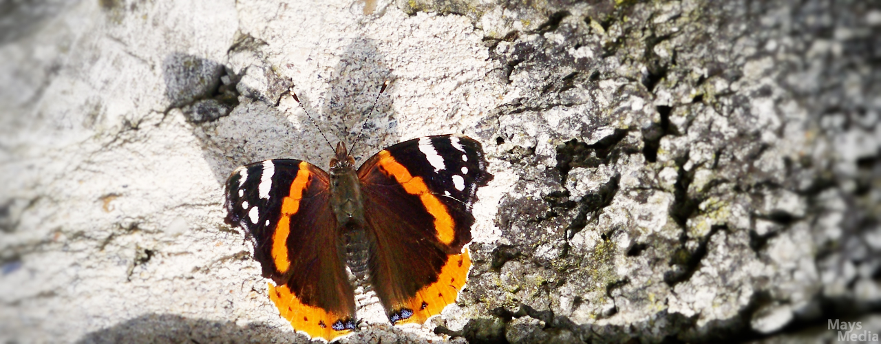 Red Admiral Butterfly Shadow